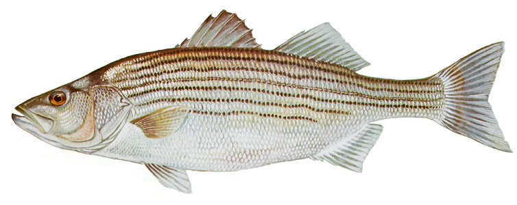 Striped Bass (Rockfish)