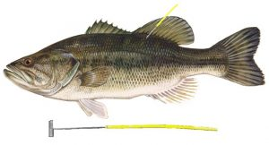 Largemouth Bass, with a Tag