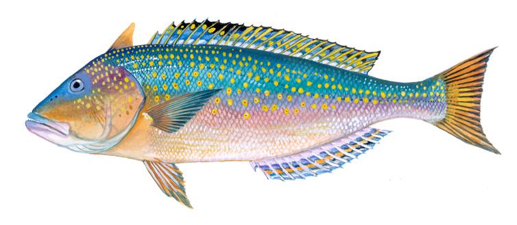 Golden Tilefish