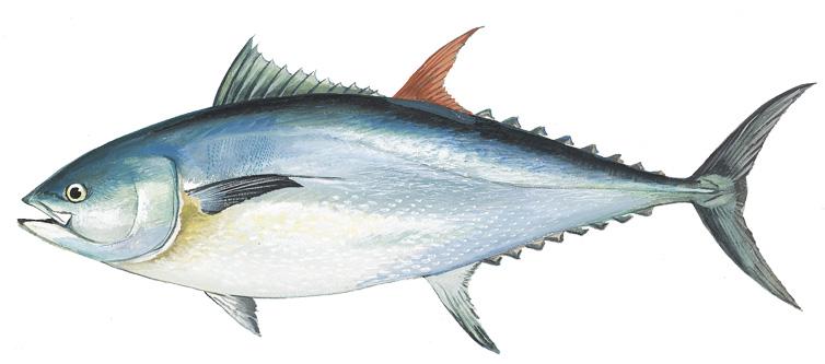 Atlantic bluefin tuna