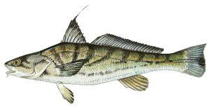 Northern Kingfish