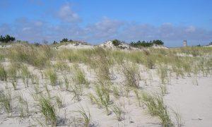 Beachgrass added to a dune