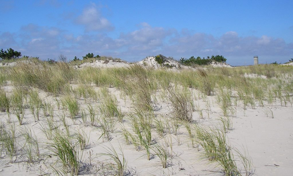 Beachgrass added to a dune