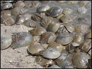 Horseshoe Crabs on a Beach