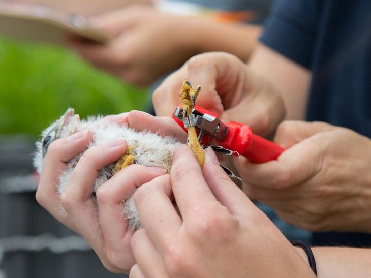 Banding a Kestrel