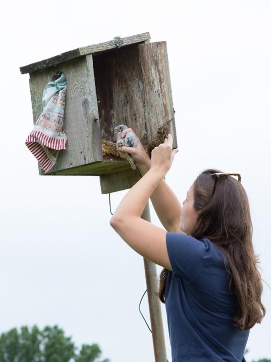 Checking a Kestrel Box