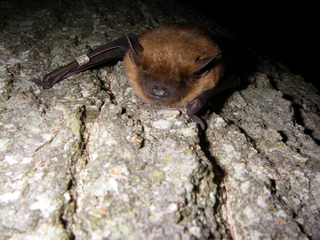 Big Brown Bat at Rest