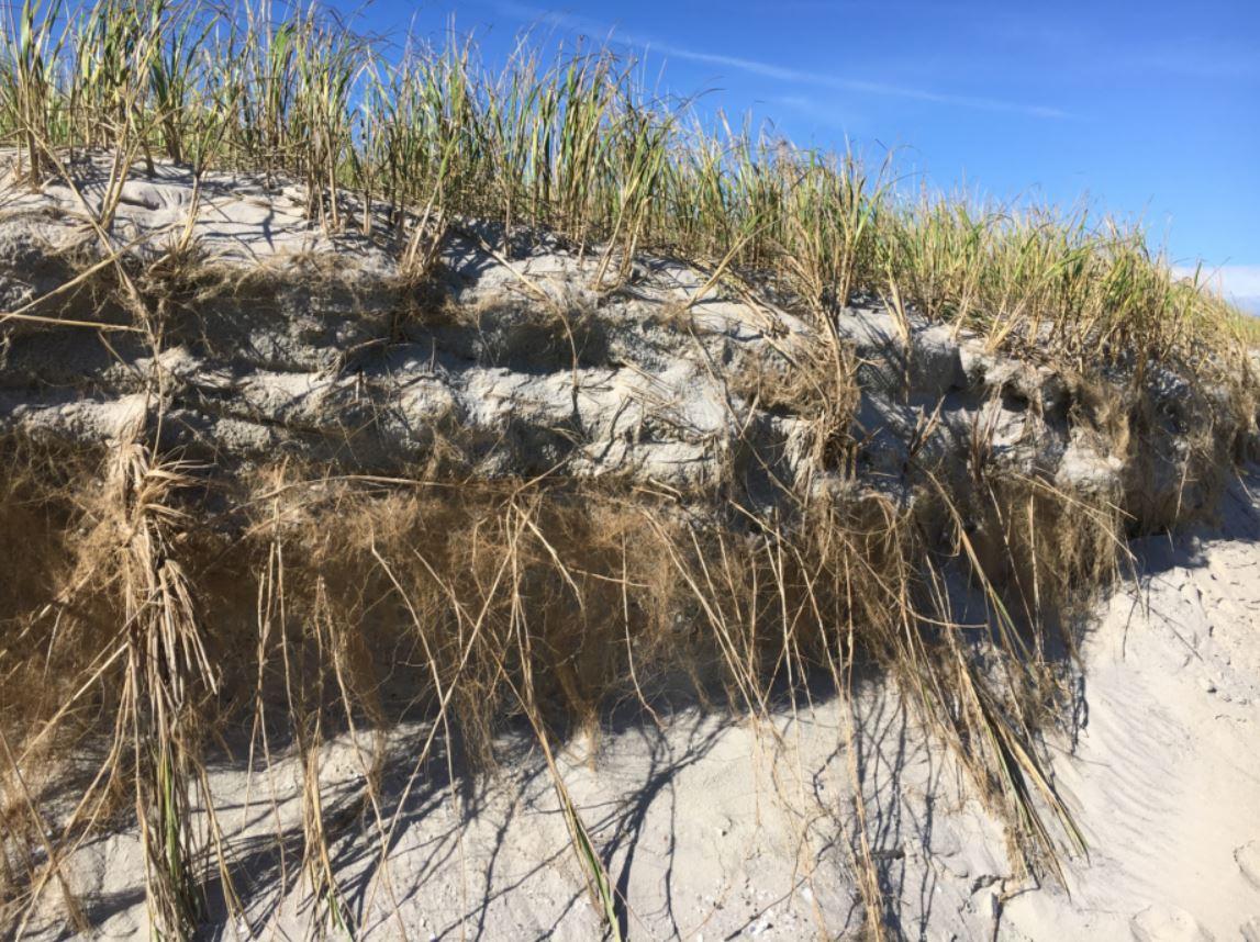 Beach Grass Roots