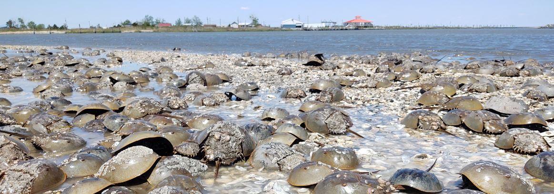 Photo of horseshoe crabs on the beach