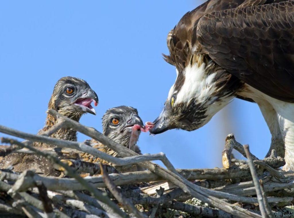 Osprey Parenting