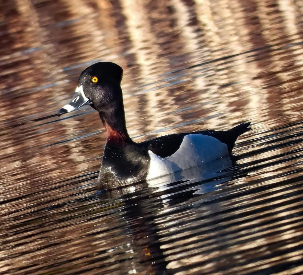 Photo of a ring-necked duck in the water
