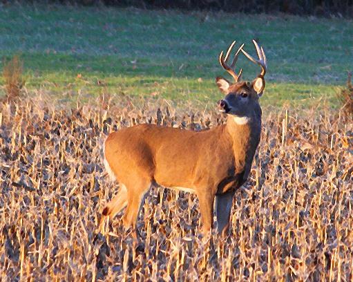 A buck stands in a field