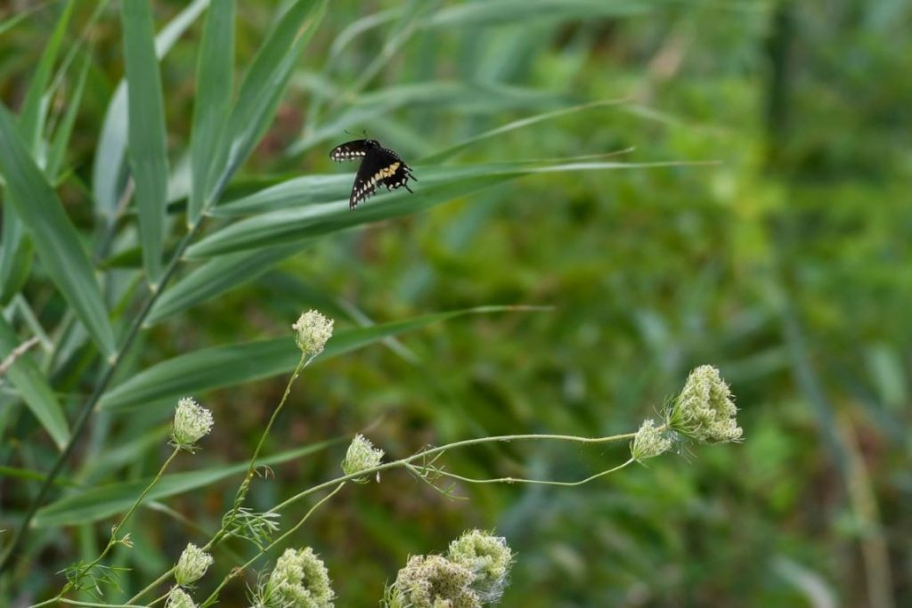 Butterfly and Queen Anne's Lace