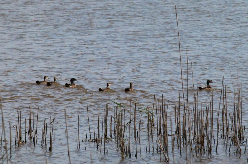 Waddling Wood Ducks