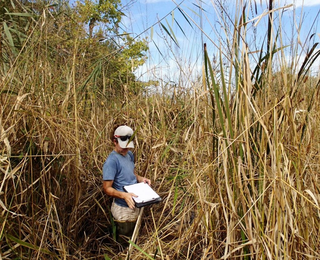 A scientist is dwarfed by the growth of phragmites reeds